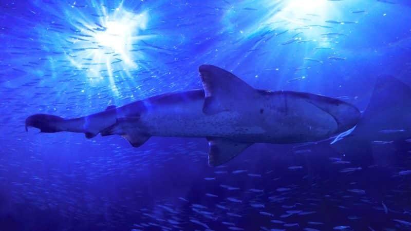 Shark at the Aquarium Of The Bay in San Francisco
