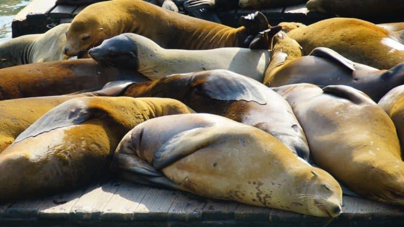 Sea lions on K Dock in San Francisco, CA