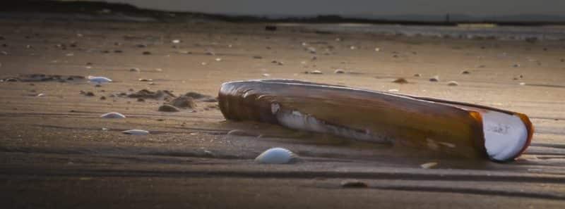 Razor clams in Seaside, OR